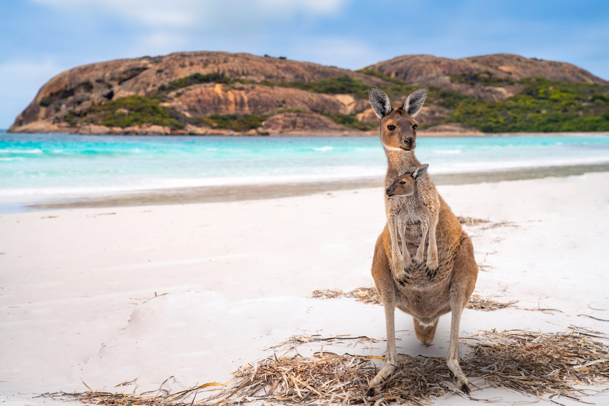 Kangaroo family, mother and baby in bag at Lucky Bay in the Cape Le Grand